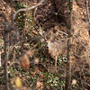 Old Mr. Nine Point - White Tailed Deer