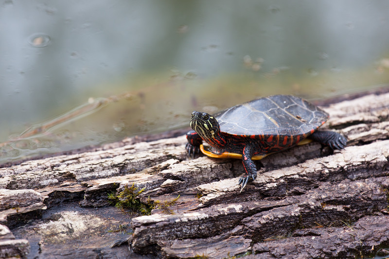 Painted Turtle, Long Branch Nature Center