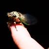 A Late Summer Cicada