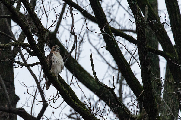 Red Tail Hawk - Glen Carlyn Park