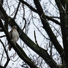 Red Tail Hawk - Glen Carlyn Park