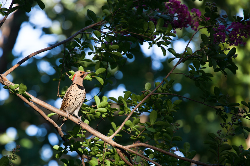 Yellow Shafted (Northern) Flicker