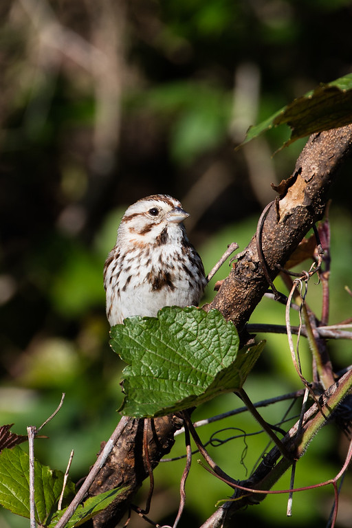 Song Sparrow - Bluemont park