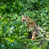 Mamma Fox