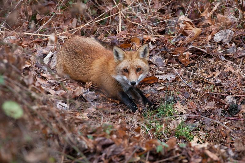 Michael - Red Fox