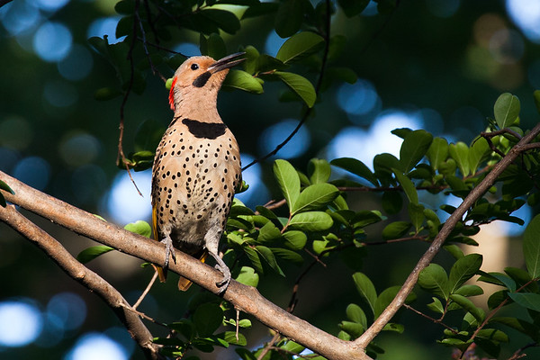 Yellow Shafted Flicker (aka Northern Flicker)