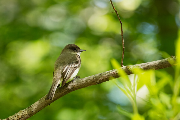 Least Flycatcher or Eastern Wood Pewee