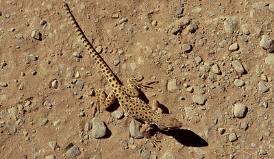 Long-nosed leopard lizard. Gambelia wislizenii, Arches National Park, Utah.