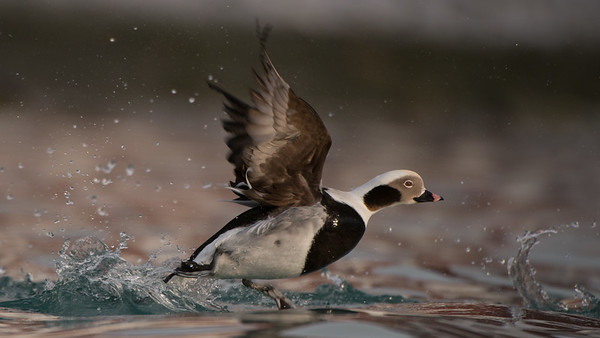 Long-tailed Duck, Clangula hyemalis. Båtsfjord, Norway.