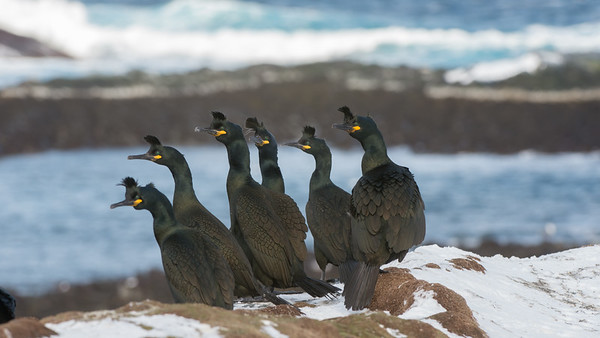 Shag, Phalacrocorax aristotelis. Hornøya, Norway.