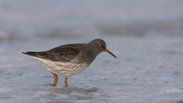 Purple Sandpiper, Calidris maritima. Vardø, Norway.