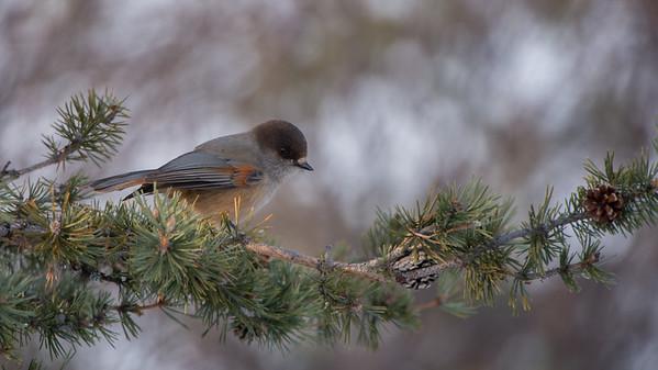 Siberian Jay, Perisoreus infaustus. Kamaanen, Finland.