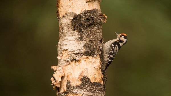 Lesser Spotted Woodpecker, Dryobates minor. Haaksbergen, The Netherlands.