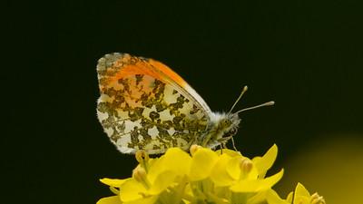 Oranjetip, Anthochanis cardamines. Ilpendam The Netherlands,