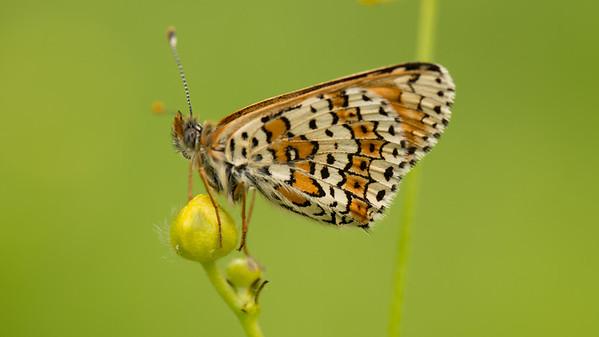 Veldparelmoervlinder, Melitaea cinxia. Belgium.