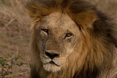Lion Close up, Panthera leo. Mikumi N.P. Tanzania.