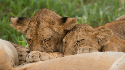 Drinking Lion Cups, Panthera leo. Ruaha National Park, Tanzania.