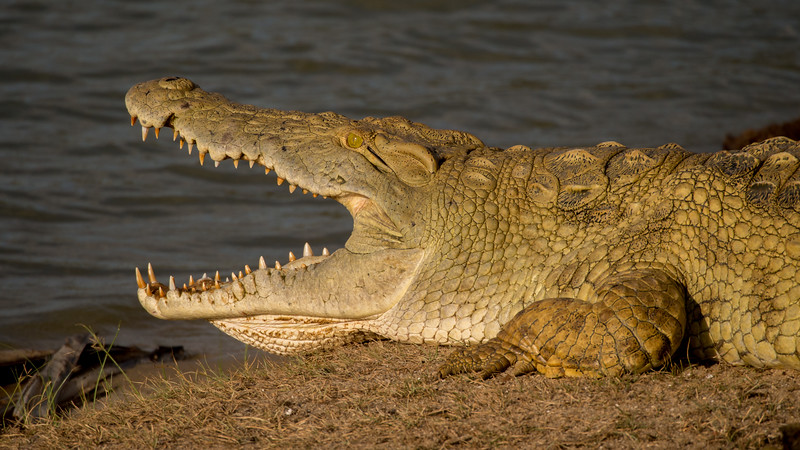 Nile Crocodile. Selous Game Reserve, Tanzania.