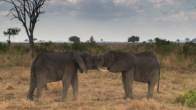 Fighting Elephants. Mikumi N.P. Tanzania.