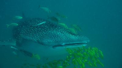 Whale Shark, Rhincodon typus. Kilindoni, Mafia Island, Tanzania.
