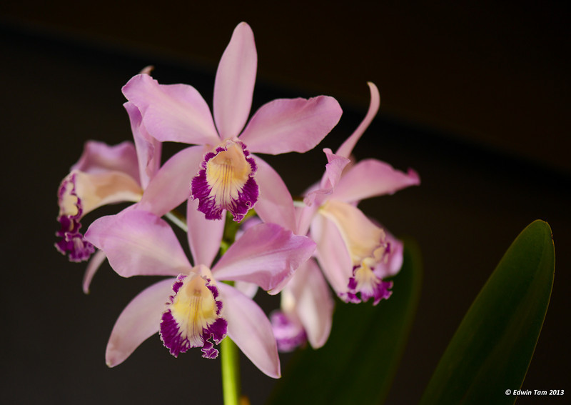 Photos from the Windsor Orchid Show at the Teutonia Club, Windsor, Ontario, on Sunday, October 27, 2013. Copyright Edwin Tam 2013.