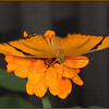 2013 - Julia Heliconian Butterfly