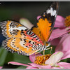 2013 - Lacewing Butterfly