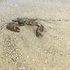 Jekyll Island Crab 2017
