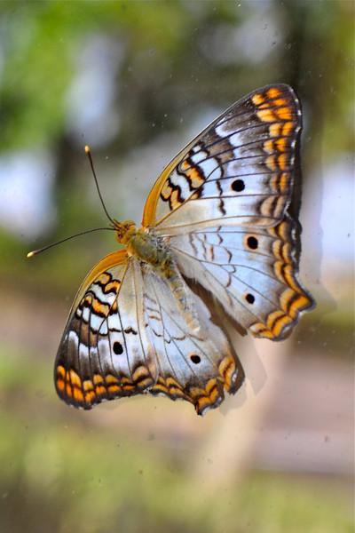 White Peacock Butterfly (anaritia jatrophae)