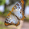 White Peacock Butterfly (anaritia jatrophae)