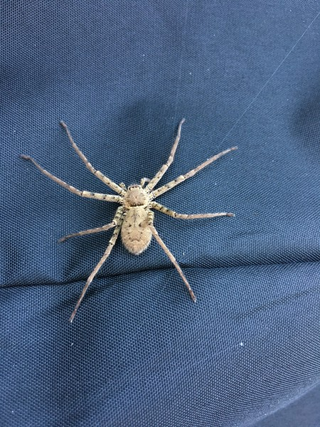Jekyll Island spider 2017