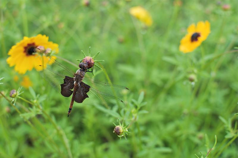 Carolina Saddlebag Dragonfly (Tramea Carolina)