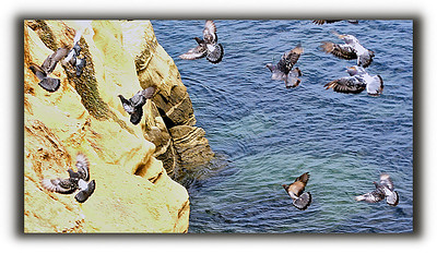 Pigeons at the La Jolla cliffs