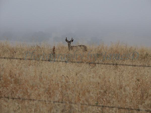 Deer_Buck_Huasna-04-2