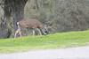 Lopez Lake Animals 20161112-537