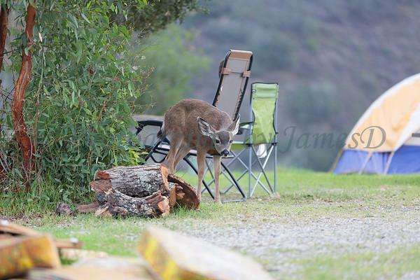 Lopez Lake Animals 20161112-427