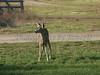 Huasna-Deer-A1-07