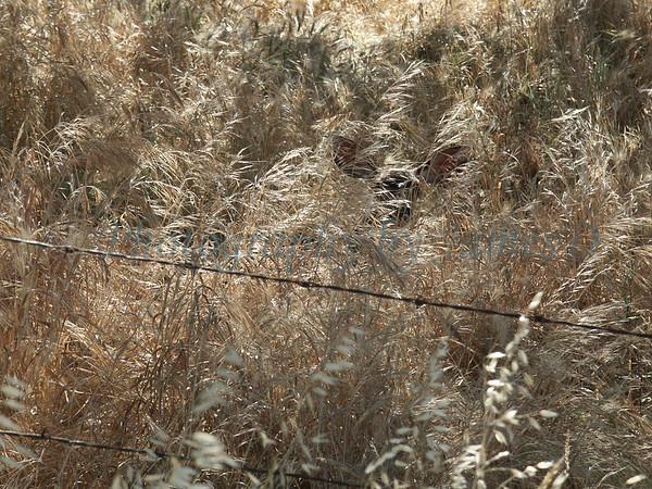 Deer-in-Grass-01