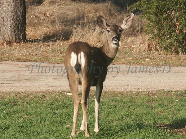Huasna-Deer-A1-23