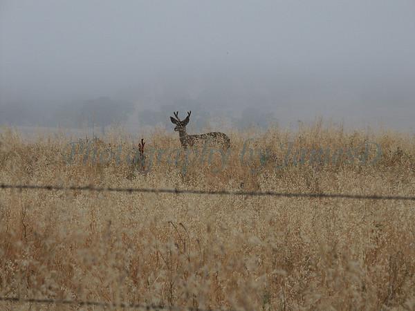 Deer_Buck_Huasna-06-2