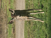 Huasna-Deer-A1-15