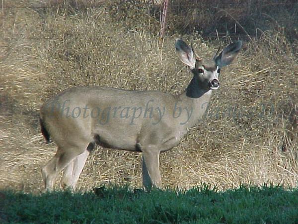 Deer_20011101_Huasna-3