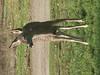 Huasna-Deer-A1-09