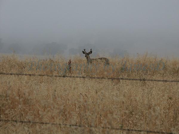 Deer_Buck_Huasna-02-2