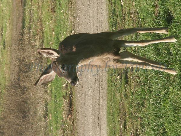 Huasna-Deer-A1-19
