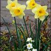 F_Daffodils_1825