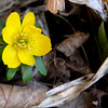 WinterAconite_FirstSpringBuldFlower_1174