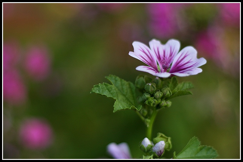 CommonMallow_50er