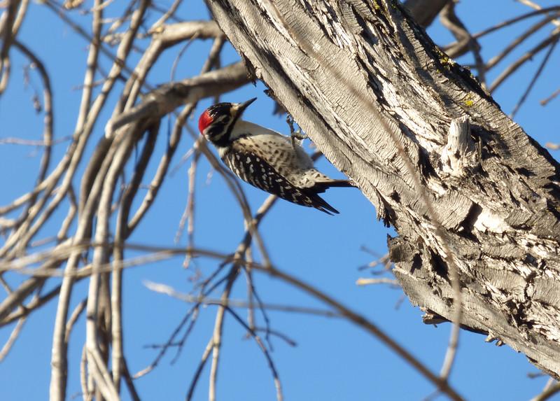2/7 male nuttall's woodpecker