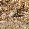 12/31 streaky breast, marking on head and around eye, savannah sparrow, sepulveda basin